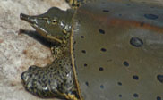 Softshell and map turtles basking around the Missisquoi Bay  and monitoring efforts (5:50)